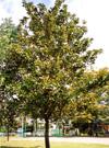 タイサンボク(高木・常緑)