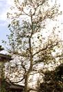 シラカバ(高木・落葉)