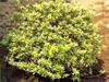 サツキ(低木・常緑)