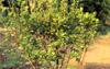 ヒラドツツジ(低木・常緑)