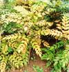 ヒイラギナンテン(低木・常緑)