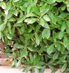 ジンチョウゲ(低木・常緑)
