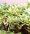 西洋シャクナゲ(低木・常緑)