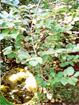 オオデマリ(低木・落葉)