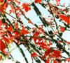 ニシキギ(低木・落葉)