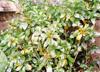 クチナシ(低木・常緑)